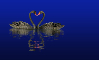 two black swans on the water