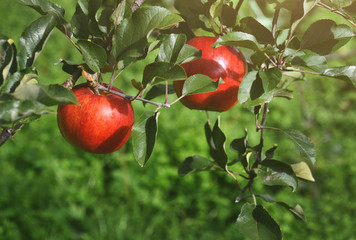 Red apple on tree in Orchard, Organic and Fresh from Farm, Ready for harvest