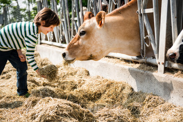 Boy feeding cow on organic dairy farm