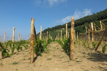 vineyard in Cinque Terre, Italy with young grapevines