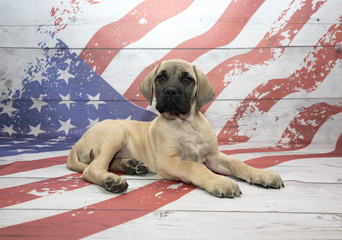 English Mastiff on American Flag background
