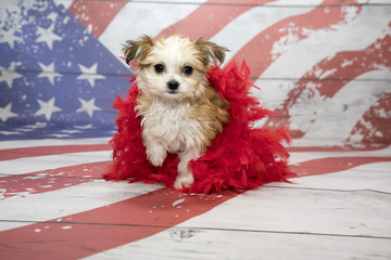 Maltishi on American Flag background