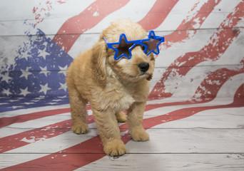Mini Goldendoodle on American Flag background