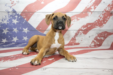 Boxer on American Flag background