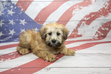Soft Coated Wheaten Terrier on American Flag background