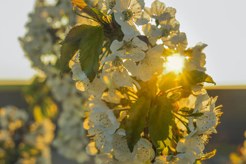 Cherry blossoms with back light sun