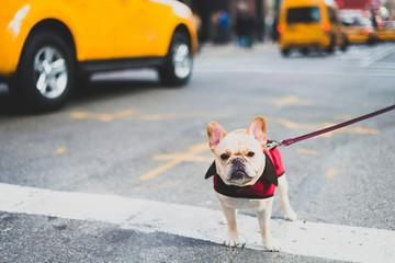 Spunky dog in New York City