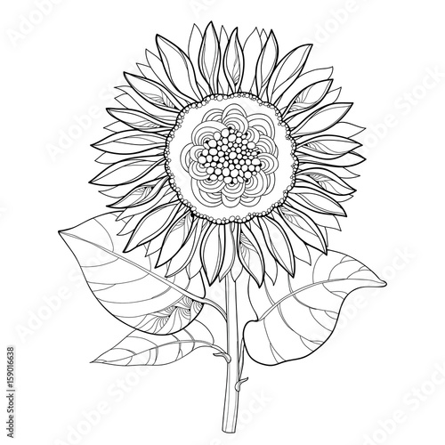Vector Stem With Outline Open Sunflower Or Helianthus Flower And Leaves Isolated On White Background