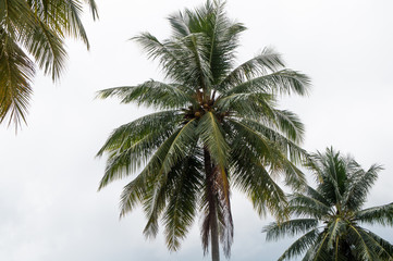 Coconut tree alone with text space