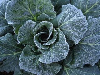 Frost on Collard leaves, Brassica oleracea (Acephala Group)