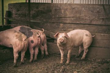 Pigs in Pigpen