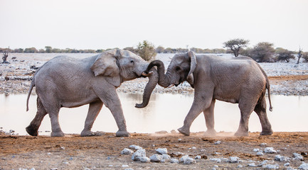 African Elephants playing at a waterhole
