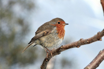 Red bird Robin
