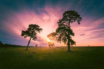 Beautiful sunset with pine trees at wide green meadow.