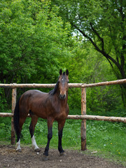 Beautiful brown horse stands alone in a field behind a fence