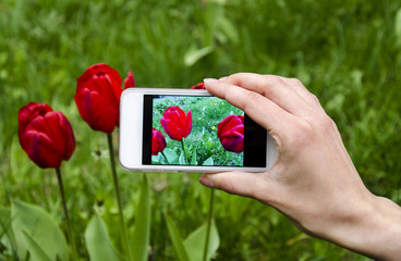 Blooming tulip on the gadget screen