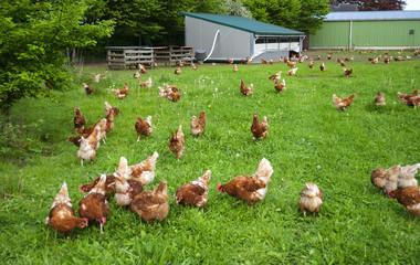 Glückliche Hühner in artgerechter Freilandhaltung in Schleswig-Holstein, Deutschland