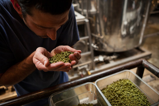 Beer Brewer Smells Handfull Of Hops Pellets