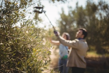 Couple with equipment plucking olives at farm