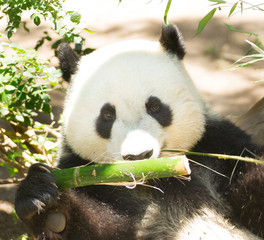 Endangered Giant Panda Eating Bamboo Stalk