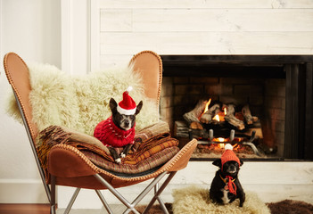 Two Chihuahua dogs in front of fireplace in living room wearing hats