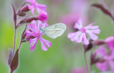 Leptidea butterfly resting on red campion, Silene dioica