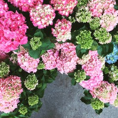 Pink and green hydrangeas at a flower market