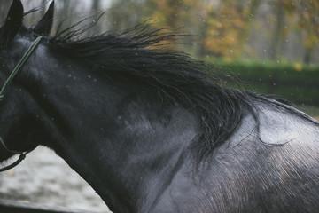 Black horse under the rain