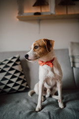 Adorable dog portrait with a bow tie