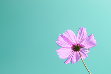 purple pink cosmos flower in garden on blue sky background, pastel style