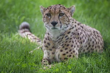 a close up photograph of a cheetah lying down on the grass staring forward