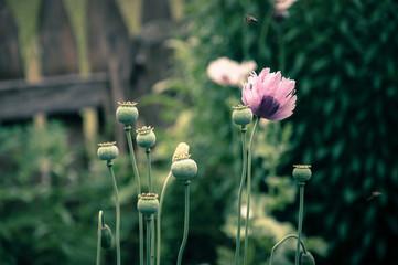 Pink poppy flowers growing in a flower garden