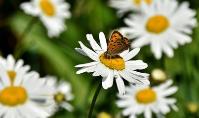 Close up of a Daisy with Butterfly in Spring sunshine