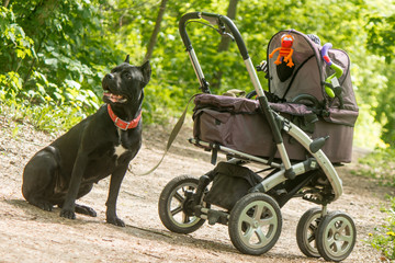 Baby carriage and big black dog