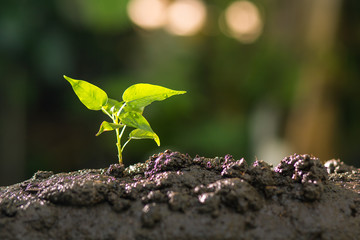 Growing plant , Young sprout , Plant seeding , Agriculture concept.
