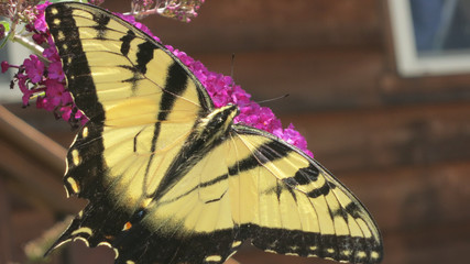 Yellow and Black Butterfly on Magenta Flower