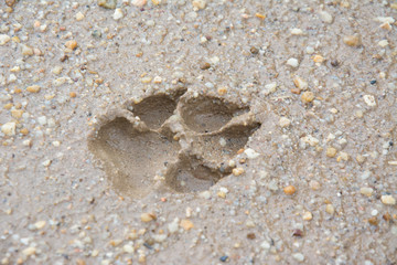 Tiger or Cat foot step on mud