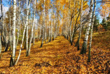 autumn forest. Autumn morning in the birch forest