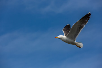 A seagull, on the way into the blue sky.