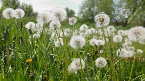 Dandelions on green meadow swaying in breeze