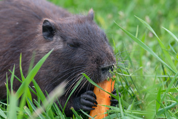 The baby swamp nutria beaver gnawing on a carrot