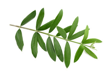 olive branch isolated