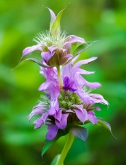 An up close view of Lamiaceae or Purple Horsemint Wildflower blooming
