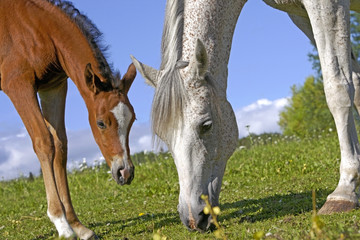 Arabian Foal watching Mother grassing at summer pasture, close up, low angle view.