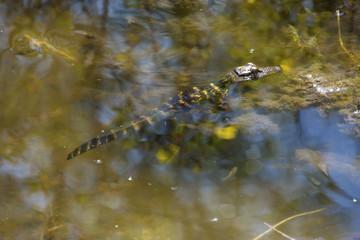Baby alligator resting in shallow water at Lake Apopka, Florida.