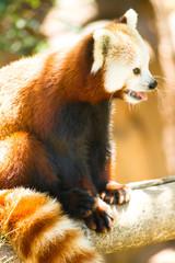 Red Panda Wild Animal Resting Sitting Tree Limb