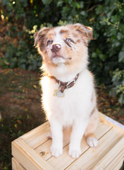 Purebred Australian Shepherd Puppy Stands on Wooden Crate