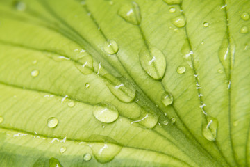 Close up of a hostas leaf with water on it.