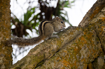 Sri Lanka. Wild Chipmunk hanging on a tree trunk