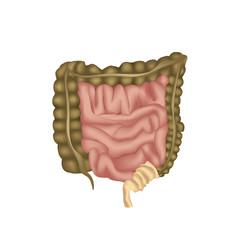 Large Intestine  Human anatomy of digestive organs